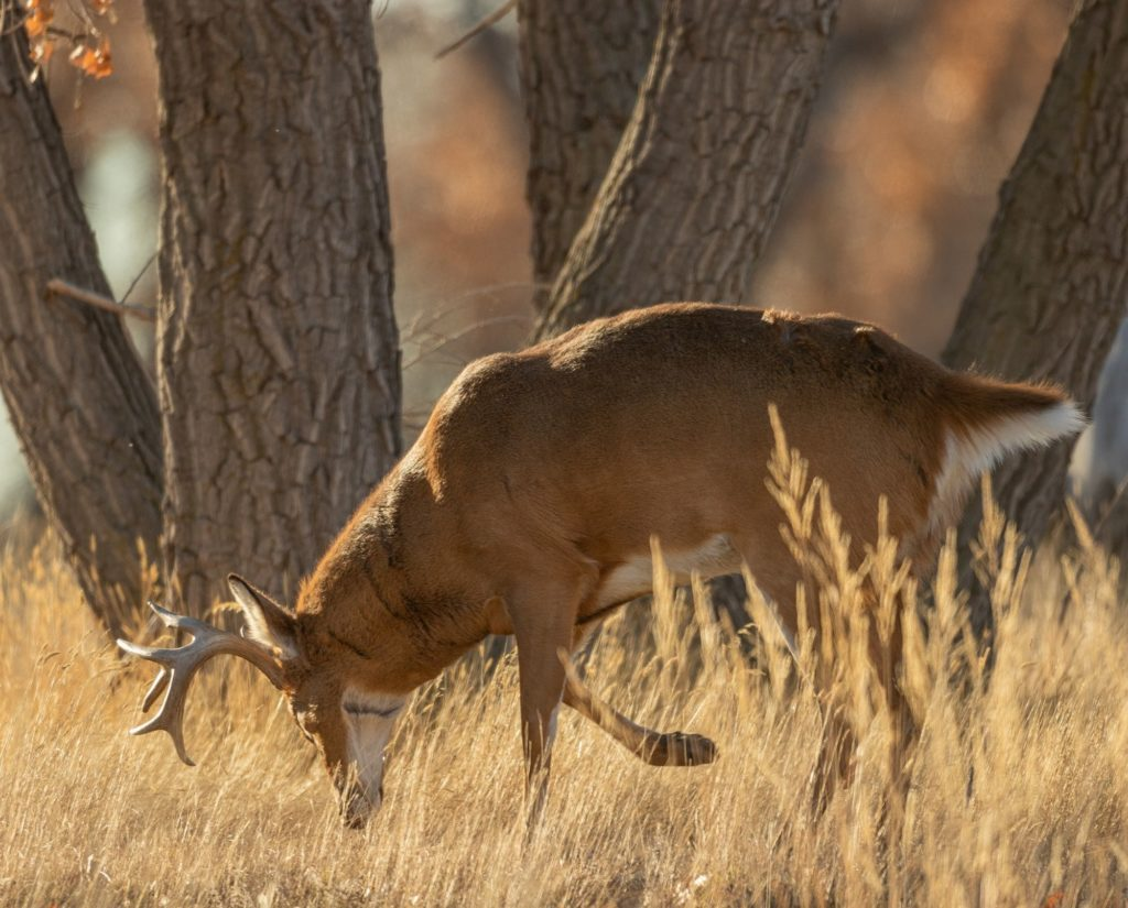 A whitetail buck walks with his nose to the ground.